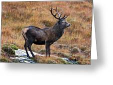 Red Deer Stag In Autumn Greeting Card