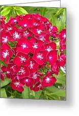 Red Dianthus Greeting Card