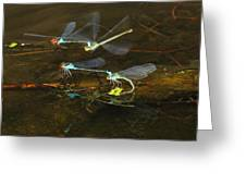 Red Eyed Damselflies Flying And Mating Party Greeting Card