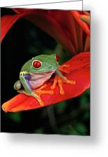 Red-eyed Tree Frog Agalychnis Greeting Card