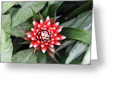 Red Flower With White Tips Greeting Card