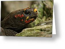 Red-footed Tortoise Greeting Card