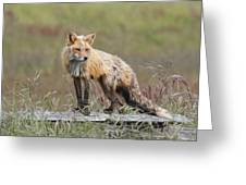 Red Fox  American Camp San Juan Island Greeting Card