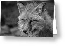Red Fox In Black And White Greeting Card