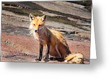 Red Fox In Maine Greeting Card