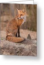 Red Fox In Pose Greeting Card
