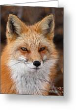 Red Fox In Winter Ruff Greeting Card