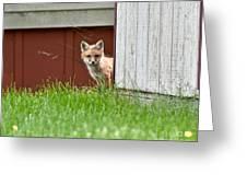 Red Fox Kit Peaking Around Old Barn Greeting Card