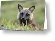 Red Fox Morph Greeting Card