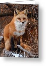 Red Fox Pausing Atop Log Greeting Card