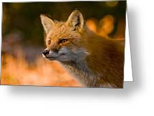 Red Fox Pictures 118 Greeting Card
