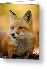 Red Fox Pictures 131 Greeting Card