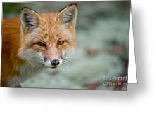 Red Fox Pictures 146 Greeting Card