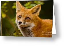 Red Fox Pictures 155 Greeting Card
