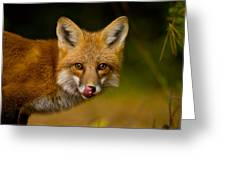 Red Fox Pictures 157 Greeting Card