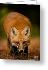 Red Fox Pictures 161 Greeting Card
