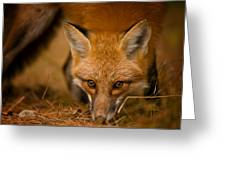 Red Fox Pictures 162 Greeting Card