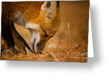 Red Fox Pictures 164 Greeting Card