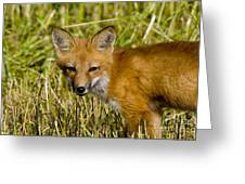 Red Fox Pictures 34 Greeting Card