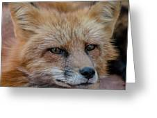 Red Fox Portrait 2 Greeting Card