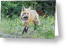 Red Fox Vixen Brings Home A Meal Greeting Card
