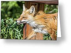 Red Fox Vixen On The Hunt Greeting Card