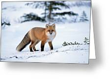 Red Fox Vulpes Vulpes Portrait Greeting Card