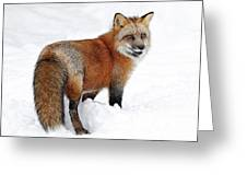 Red Fox Winter Greeting Card