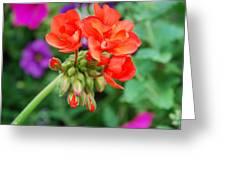 Red Fresh Geraniums Greeting Card