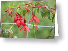 Red Fresia Greeting Card