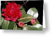 Red Frilly Camillia Greeting Card