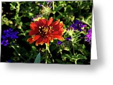 Red Gaillardia Greeting Card by Douglas Barnett