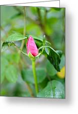 Red Garden Rose Bud Greeting Card