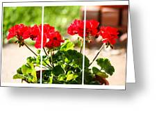 Red Geraniums Triptych Greeting Card