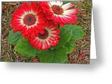 Red Gerbera Daisies Greeting Card