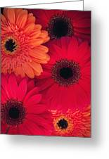 Red Gerbers Greeting Card