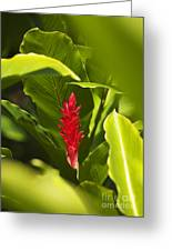 Red Ginger Flower Greeting Card