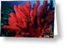 Red Gorgonian Sea Fan With Abundance Of Tentacles Greeting Card by Sami Sarkis