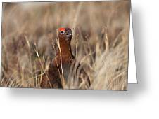Red Grouse Calling Greeting Card