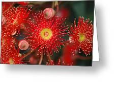 Red Gum Flower Macro Greeting Card