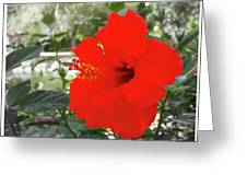 Red Gumamela  Greeting Card