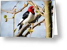 Red-headed Woodpecker At A Glace  Greeting Card
