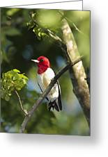 Red-headed Woodpecker Perched On A Tree Greeting Card by George Grall