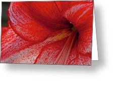 Red Hippeastrum Charisma Greeting Card