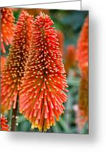 Red-hot Poker Flower Kniphofia Greeting Card