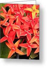 Red Indian Flowers Like Sunshine - Macro Photography Greeting Card