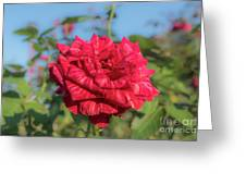 Red Intuition Hybrid Tea Rose, Red Stripe Rose Originally Pr Greeting Card