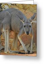 Red Kangaroo Greeting Card