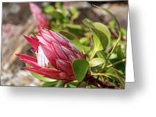 Red King Protea Bud Greeting Card