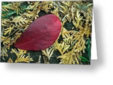 Red Leaf On  Arborvitae Leaves Greeting Card